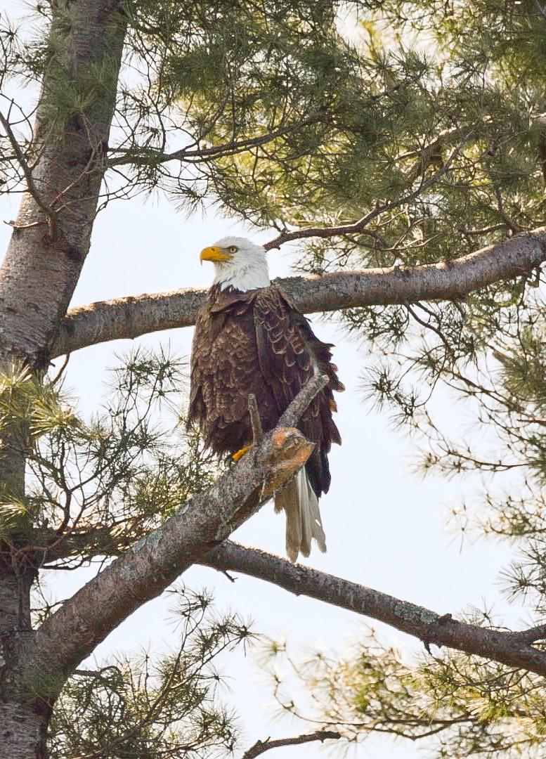 Bald Eagle | Sebago Lake, ME