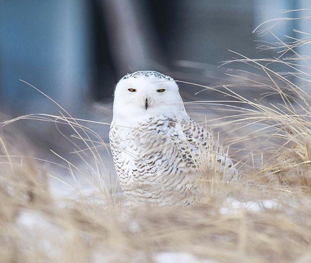 Snowy Owl | Plum Island, MA