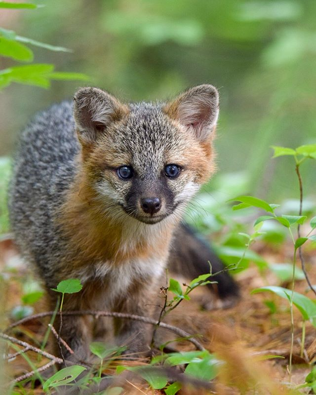 Fox | Maine