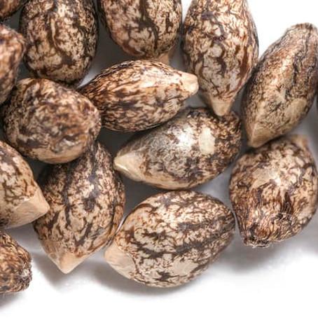 Chef Izzy's Value Pack: 10 Feminized Seeds for $50