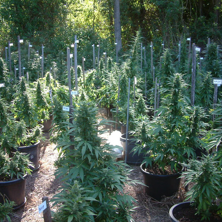Outdoor Value Pack: 72 Seeds/3 Strains/50% Off