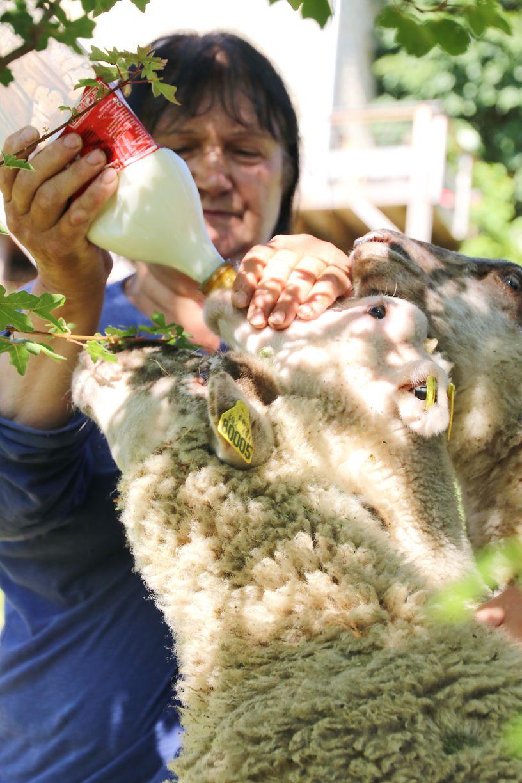 Biberon des agneaux
