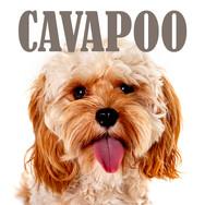 CAVAPOO.jpg