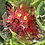 Thumbnail: Ohia Lehua Honey / Spring 2021 - Single-estate Varietal