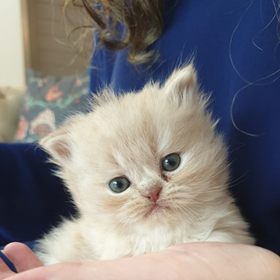 Cats Kittens Sale Adopt Persian Foreverfelines