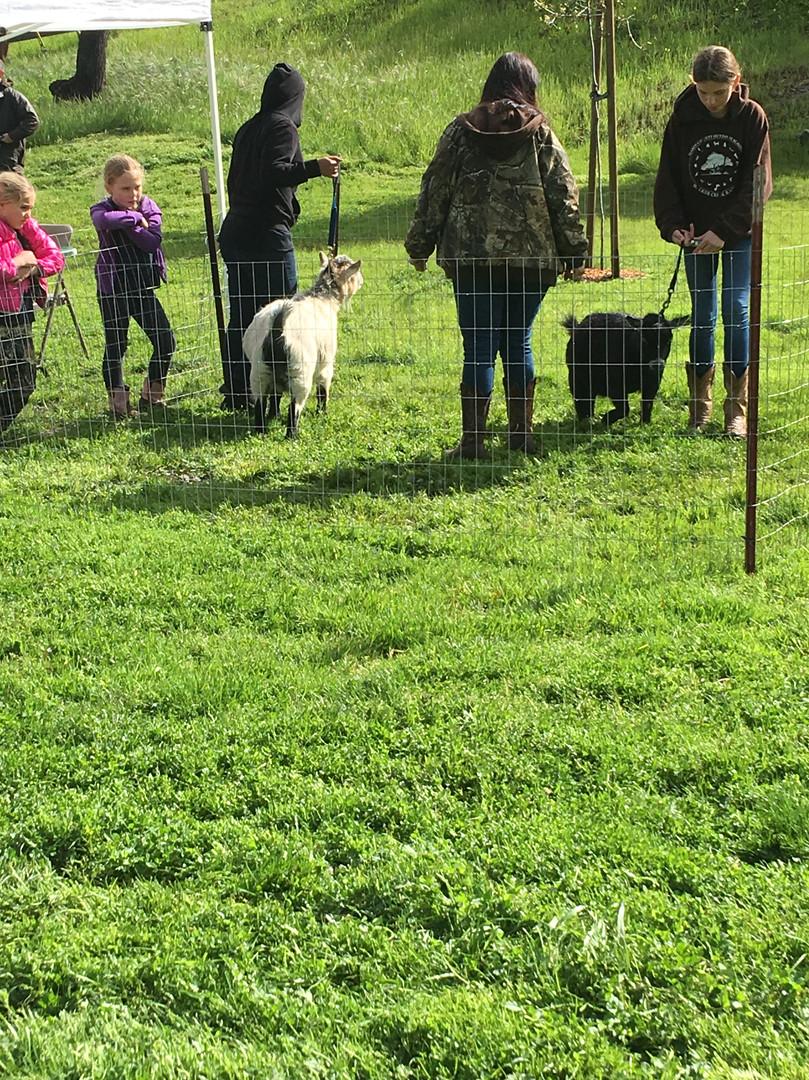 2017-2018 Showman Clinic Pygmy Goat