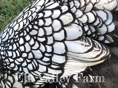 Silver Laced Wyandotte (fertile eggs)