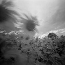 TMX_100_Sunflowers_001_web.jpg