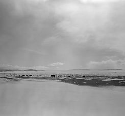 Winter cattle, South Park, CO