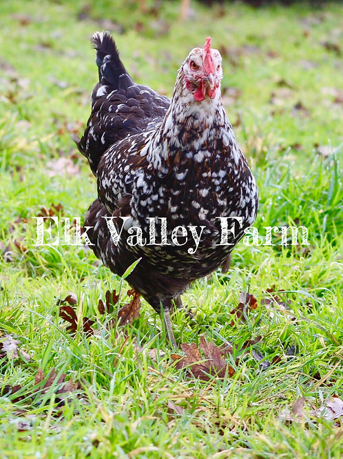 Swedish Flower Hen (fertile eggs)