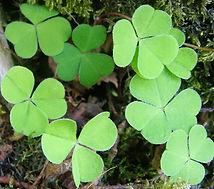 green clover.jpg