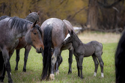Mares and Foals 006 May 2k19