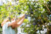 Blueberry harvesting, small.jpg