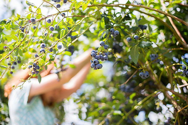 Blueberry harvesting, small.jpg