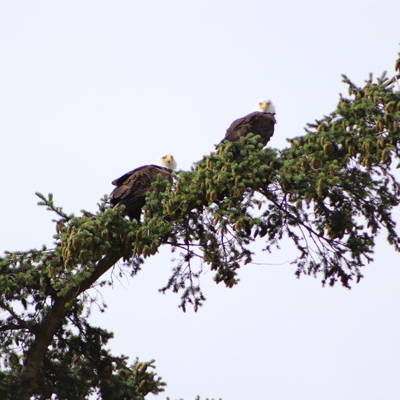 Our eagle pair.