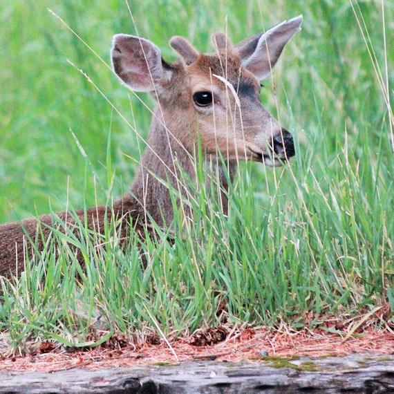 Baby deer.jpg
