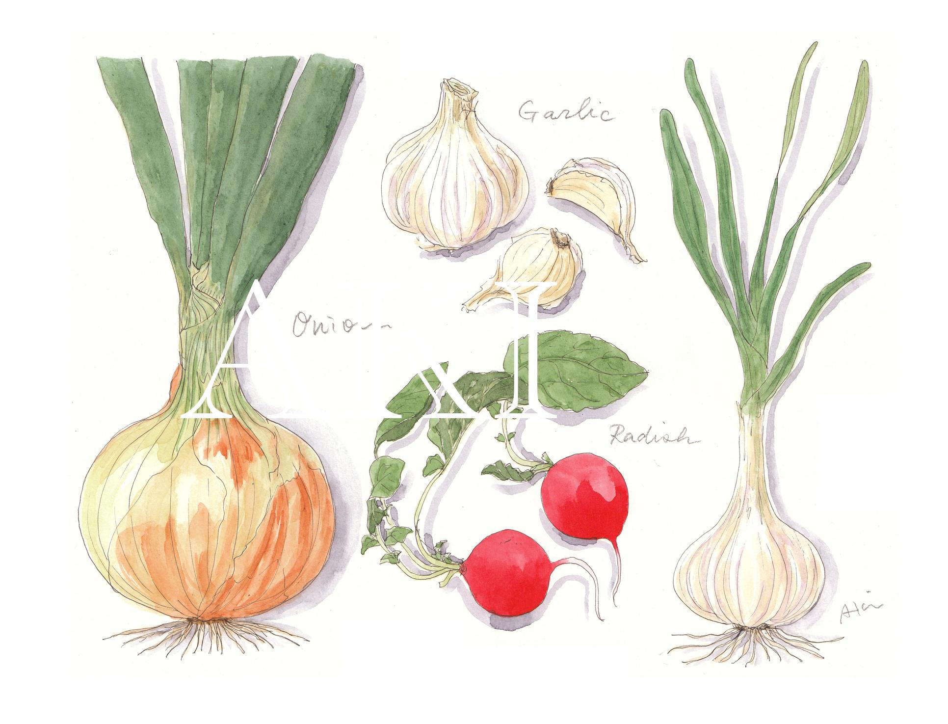 以前の個展用『洋野菜』のイラスト