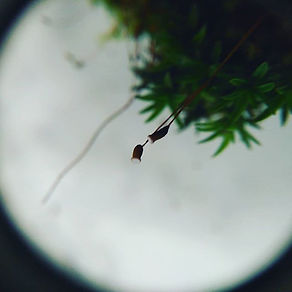 Moss spore capsules through a hand lens