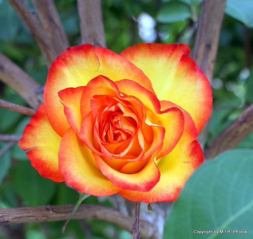 YELLOW RED ROSE 1""