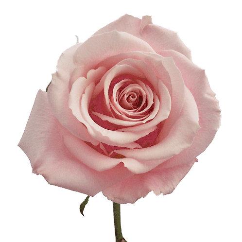"""PALE PINK ROSE 3"""""""