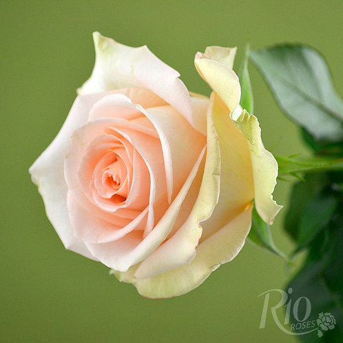 PALE PEACH ROSE 3""