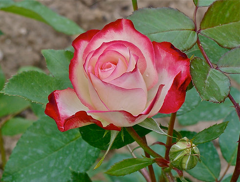 "WHITE RED ROSE 1"""