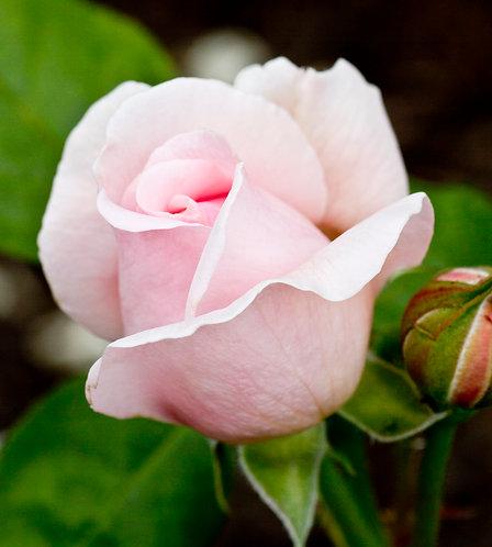 """PALE PINK ROSE 1"""""""