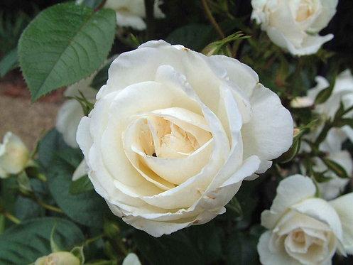 """WHITE ROSE 4"""""""