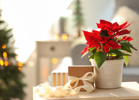 How to Care for Your Holiday Houseplants