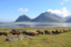 Iceland Horsey Bekons!.JPG