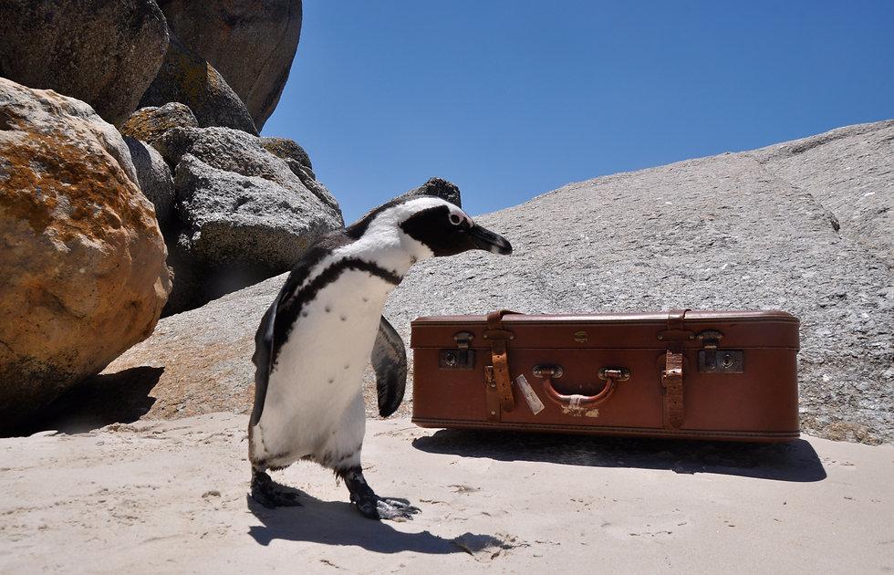 Nomadic Penguin .JPG