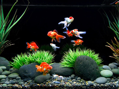 Eight Tips to Keep Your Freshwater Fish Happy and Healthy