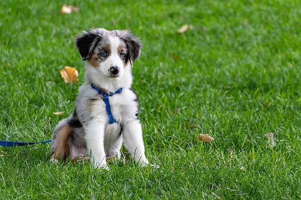 puppy training in harness.jpg