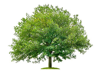 isolated%20oak%20tree%20on%20a%20white%2