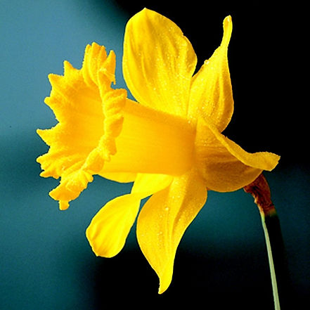 Daffodil Golden Harvest (1).jpg
