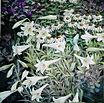 Lillies and Hummingbird
