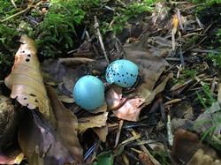 Eierschalen der Singdrossel