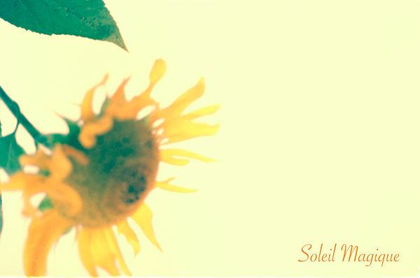 sunflower.SOLEIL.jpg
