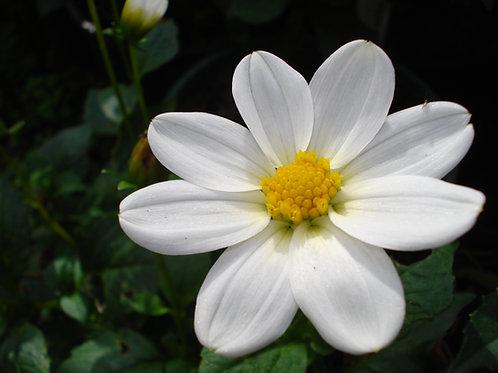 White Lilliput