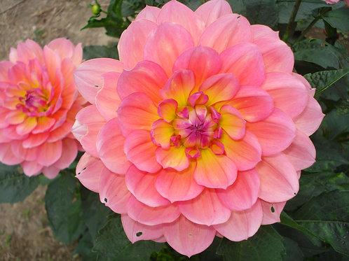 Sandia Rose