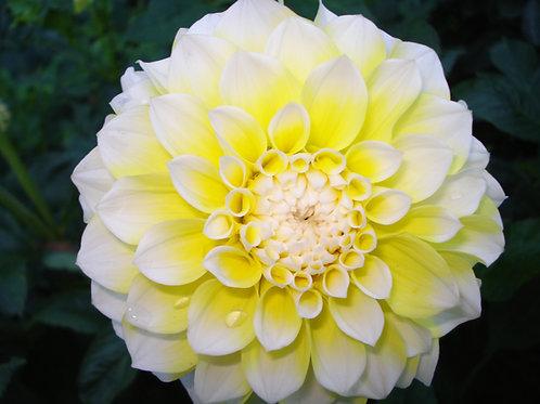 Korb's Yellow Hy-Light