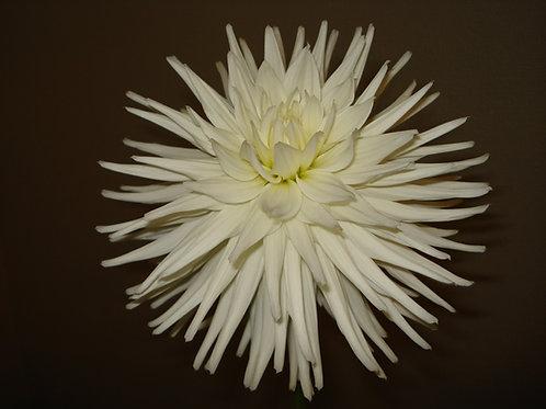 Kenora Jubilee (Cactus)