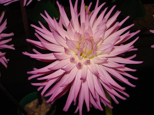Taratahi Lilac