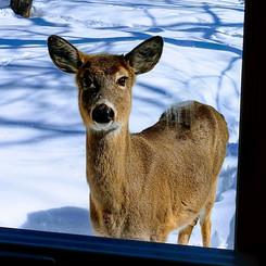 Spring Deer.jpg