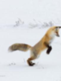 hunting-fox.jpg