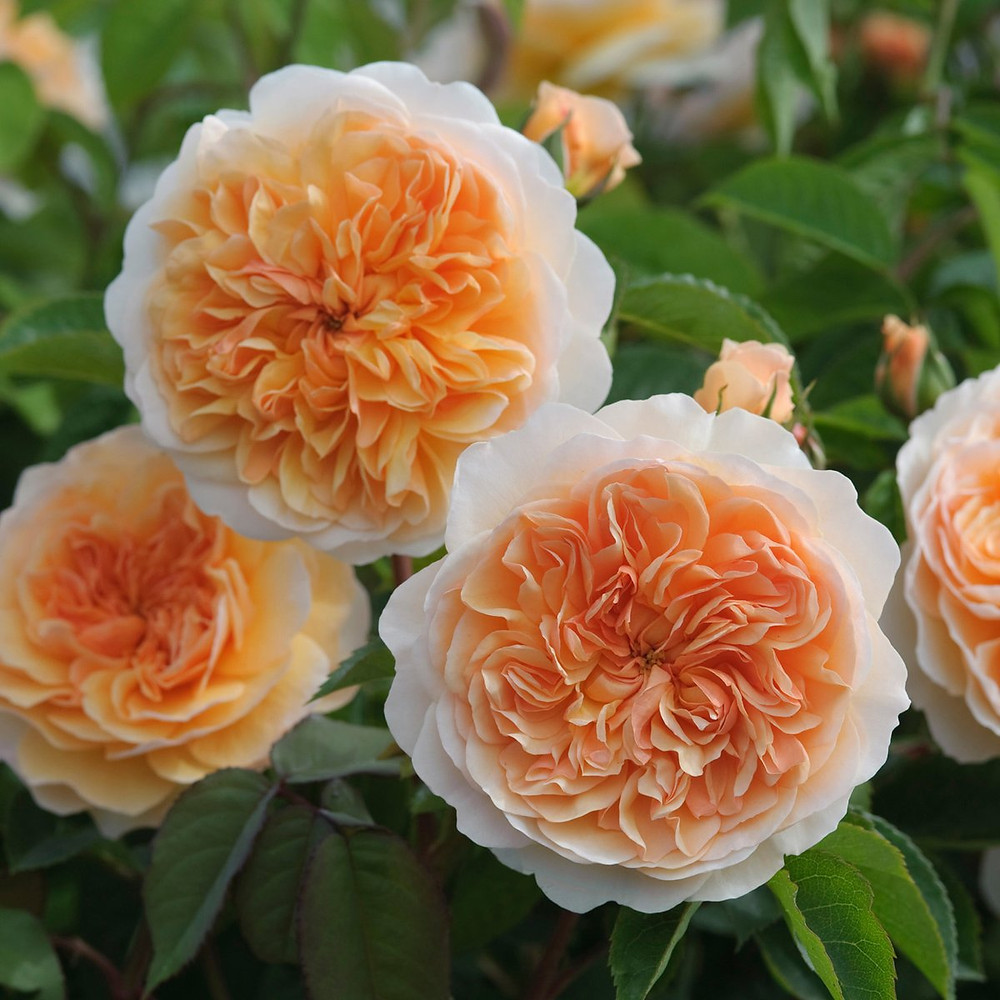 Port Sunlight David Austin Rose. peach English garden rose