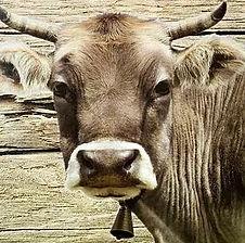 Tolle Geschenke mit Kühen
