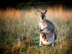 L'année 2018 vue par les kangourous