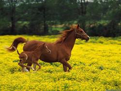 arabian-mare-and-foal_louisville_kentucky.jpg