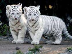 baby.tigers.jpg